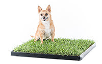 Chihuahua on real grass
