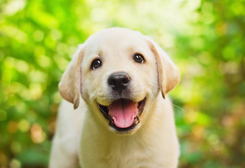 Labrador retrievers are one of the easiest dogs to train, as they are very compliant in nature.