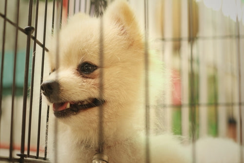 pomeranian puppy being crate trained