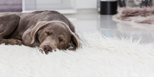 DOG SLEEPING ON SHAG RUG