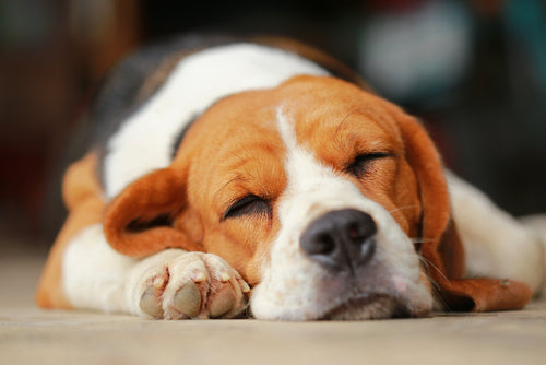 Beagle sleeping
