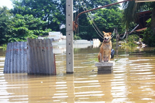 Dog stuck in flooding waters