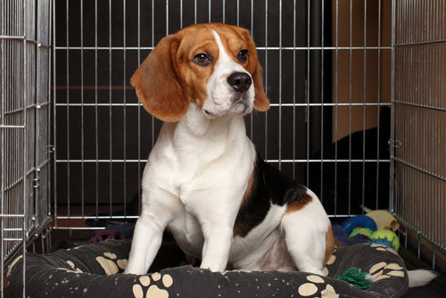 beagle in crate