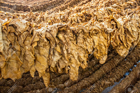 Tobacco leaves shed raw tobacco