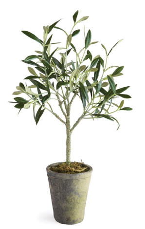 Olive Tree Potted