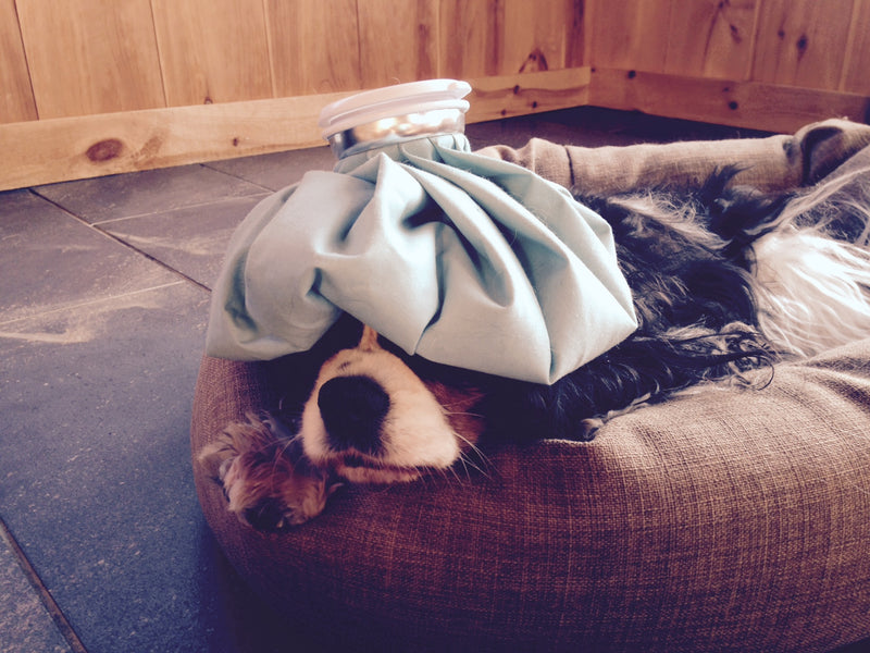 My Tummy Hurts! Caring for Your Ailing Pet