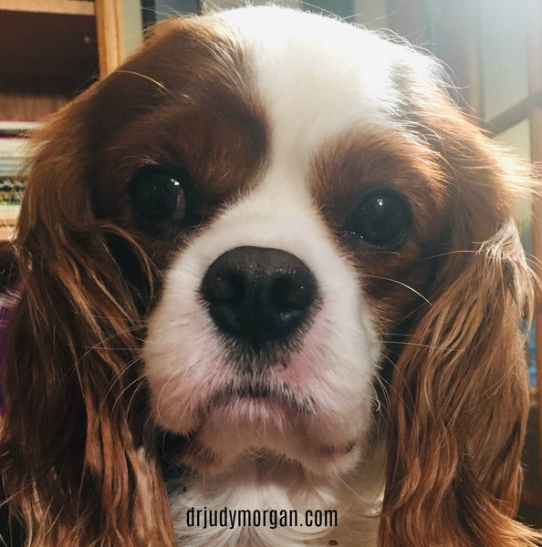 Five Genetic Diseases of Cavalier King Charles Spaniels