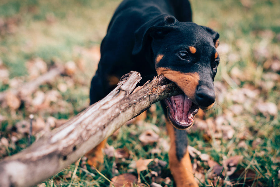 Dealing with Destructive Chewing in Dogs