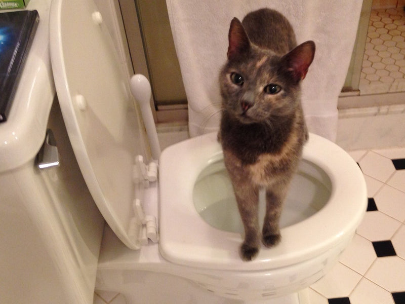 Toilet Training for Kitties?