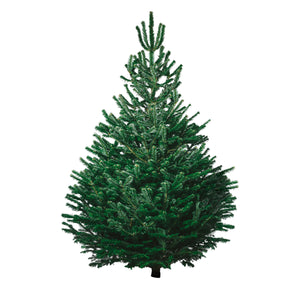 Christmas Tree Size Xtra Large 175cm - 210cm - CHRISTMAS TREE HONG KONG
