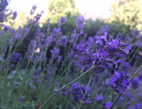 lavender for amalie farm to face collection