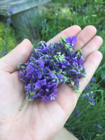 lavender flowers for lavender oil extraction