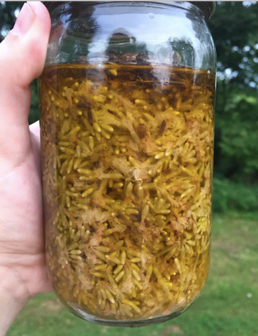 lavender oil extraction week 8