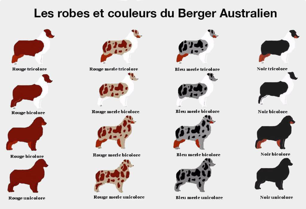 couleurs et robes Berger Australien
