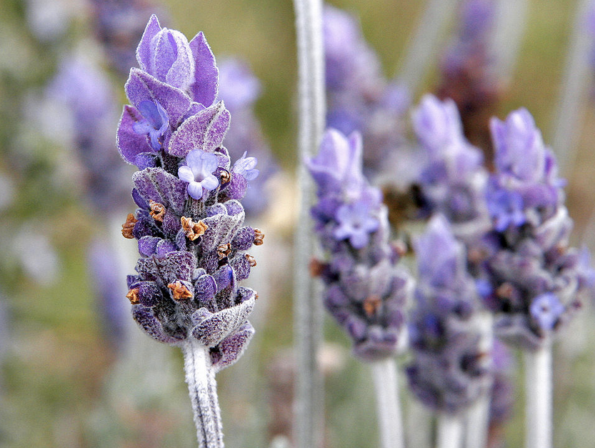 Essential Oil of Lavender, How to work with the 'Grandmother' of essential oils