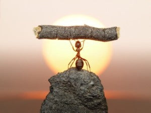 ant holding twig
