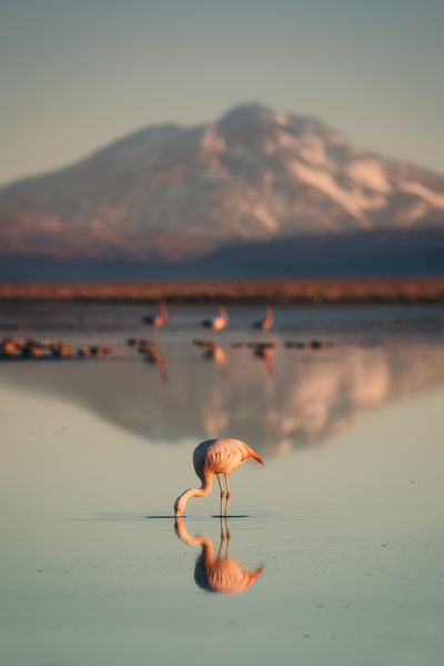 A pink flamingo dips its beak into a vast reflective lake with a large, gray, snowy mountain in the background.