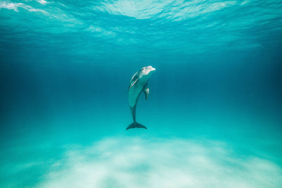 A single dolphin is centered surrounded by the blueish, turquoise hues of the seemingly empty ocean.