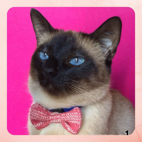 Siamese Cat wearing a Pink Bowtie