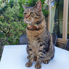 Sitting Tabby Cat in Multicoloured Cat Bow Tie Outside by Bush