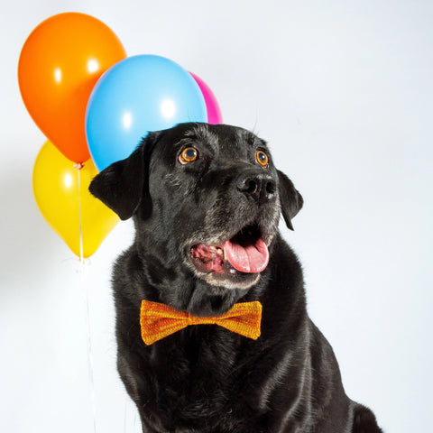 A Black Labrador wearing a Knitted Orange Bow Tie sits in a white space with party balloons behind her.