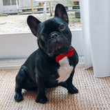 French Bulldog in Red Bow Tie