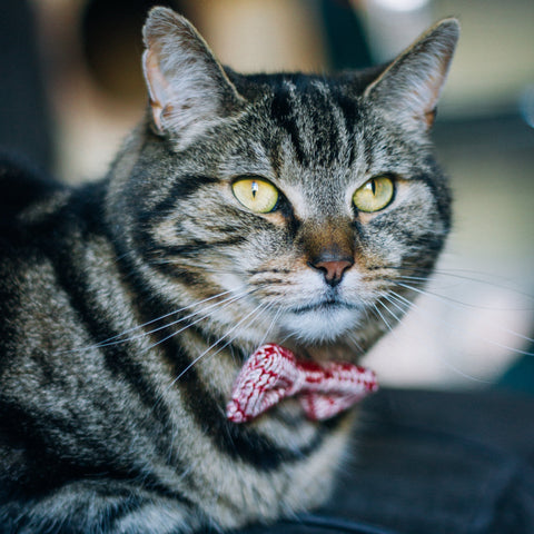 A short haired domestic cat wears a Red and White knitted Bow Tie while laying on a surface