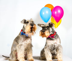 Two dogs in Knitted Bow Ties in a white room with multicoloured balloons