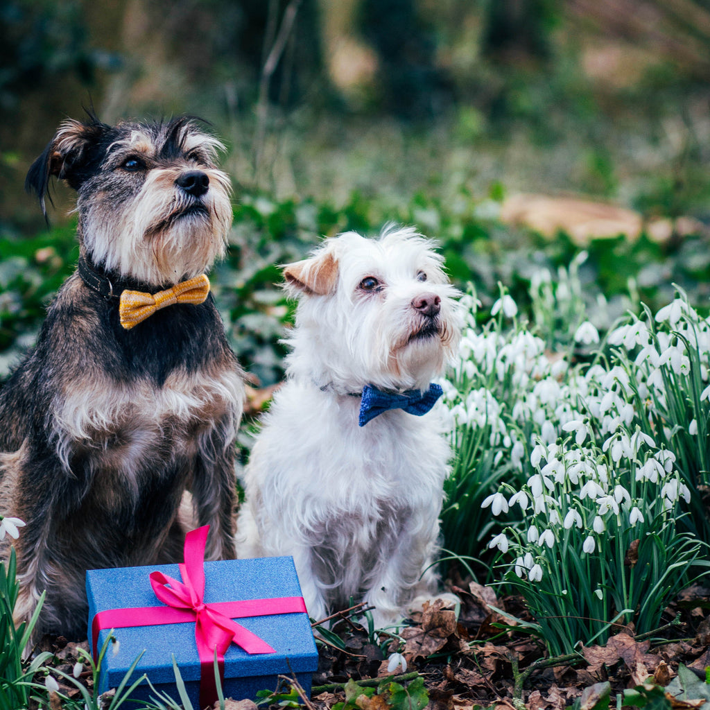 Two Scottish Terriers amongst wildflowers wearing Yellow and Blue Bow Ties