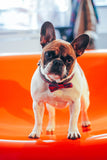 Standing French Bulldog wearing a Knitted Dog Bow Tie