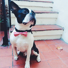 Black and white French Bulldog in a Pink Knitted Bow Tie