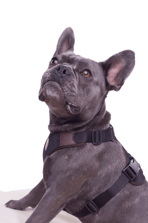French Bulldog Geschirr Cairns (komplett verstellbar)