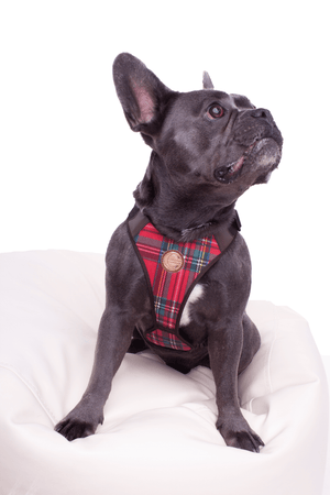 French Bulldog Geschirr Dublin (komplett verstellbar)
