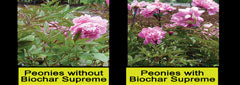 Renel Anderson's Peony experiment with Black Owl Biochar