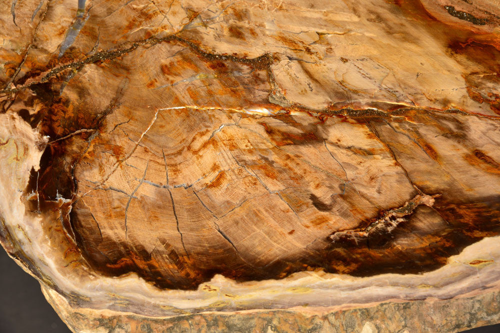 sequoia brown petrified wood tree