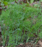20 Dill Herb Seeds