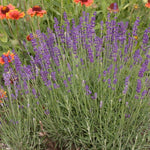Lavender Seeds - English - 20 seeds