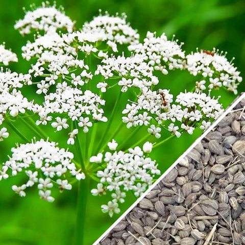 Anise Herb Seeds - 20 Count