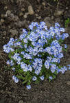 20 Forget Me Not Seeds