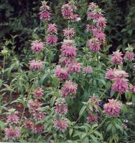 Lemon Bergamot Seeds - Bee Balm - 20 count