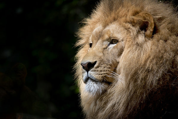 A lion staring into the distance