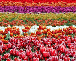 21372 Field of Tulips - BestPaintByNumbers