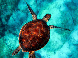 *FREE* Sea Turtle - paint by numbers - just 5 cents - BestPaintByNumbers - Paint by Numbers Custom Kit