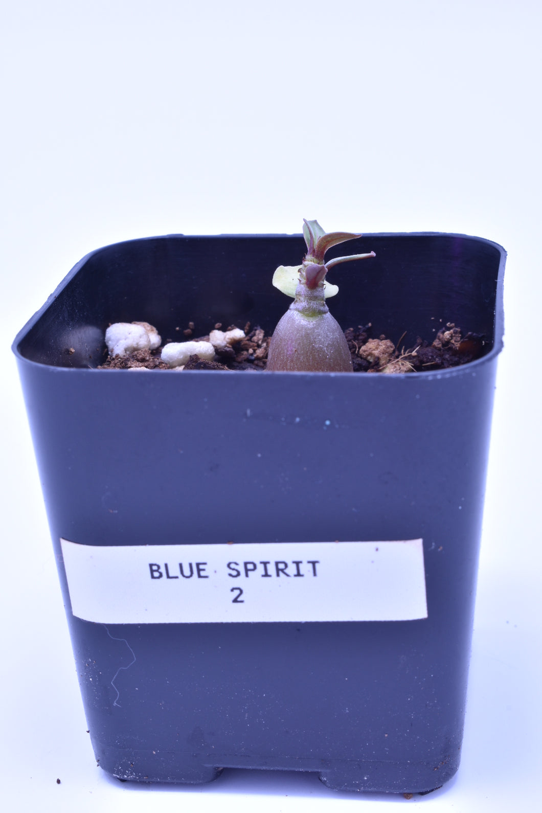 Blue Spirit 2 Seedling