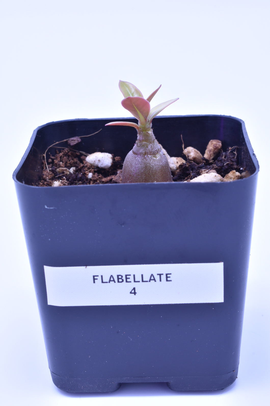Flabellate 4 Seedling
