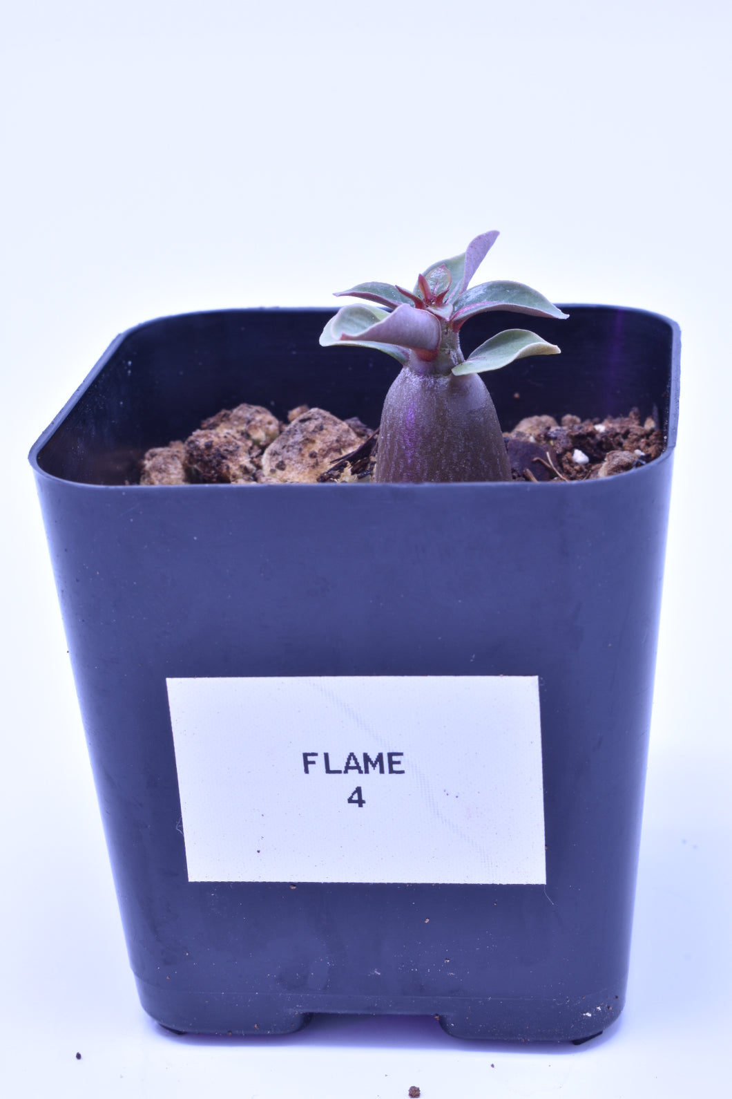 Flame 4 Seedling