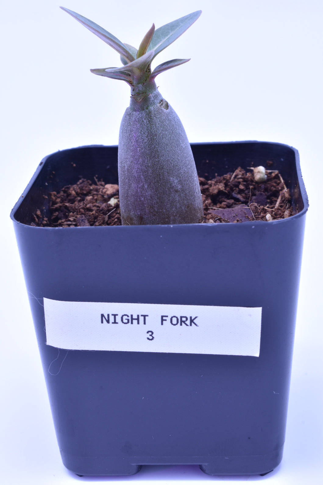 Night Fork 3 Seedling