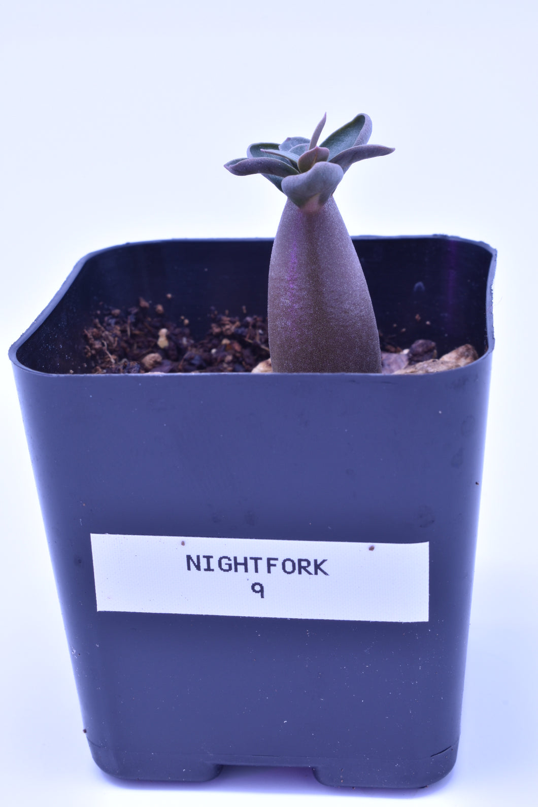 Night Fork 9 Seedling