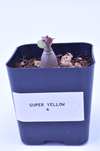 Super Yellow 4 Seedling