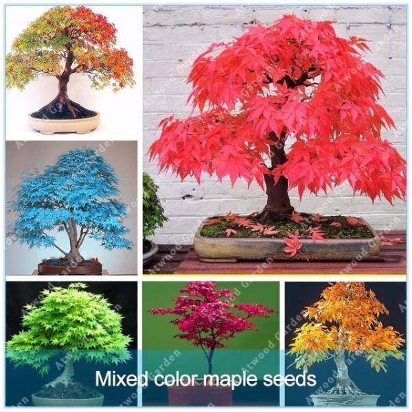 Blazing Bonsai Tree Seeds